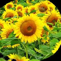 Семена подсолнечника Мегасан