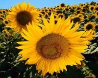 Гибрид подсолнечника Украинское солнышко. Гібрид соняшнику українське сонечко.