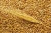 Пшеница озимая Годувальниця одесская