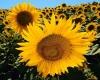 Семена подсолнечника Заграва - гибрид F1